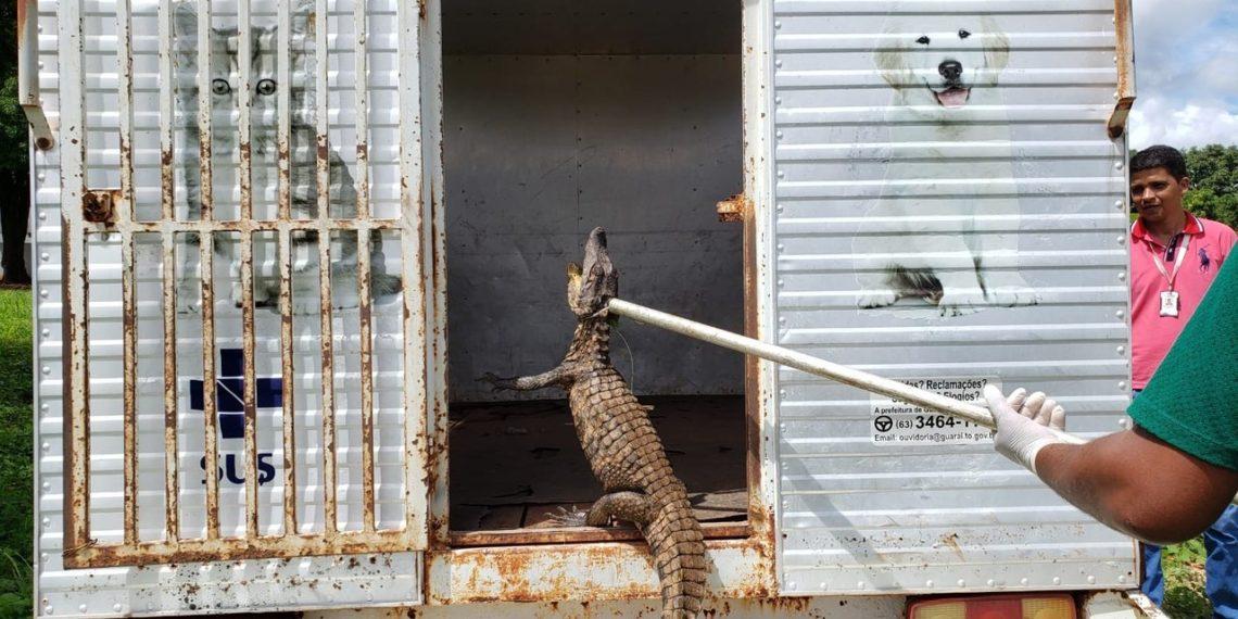 Animal foi solto em reserva perto da cidade — Foto: Guaraí Notícias/Divulgação